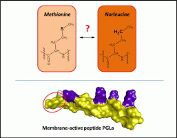 Does a methionine-to-norleucine substitution in PGLa influence peptide-membrane interactions?